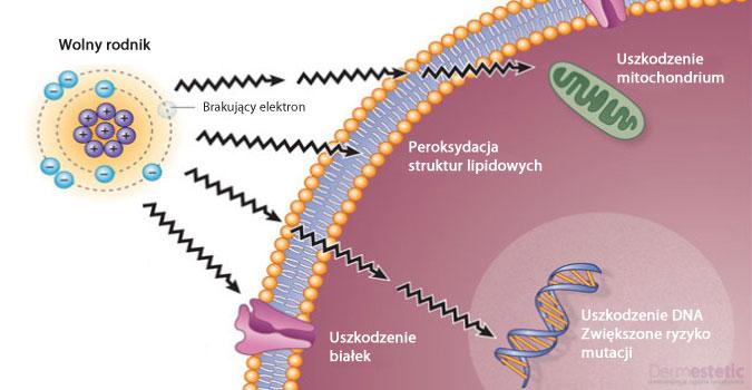 Proces niszczenia komórki przez wolne rodniki